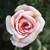 Thumb_adrose