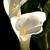 Thumb_calla-lilies-ii-tall-_v22