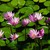 Thumb_water_lilies